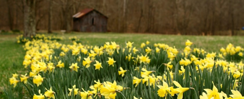Field of daffodils in March